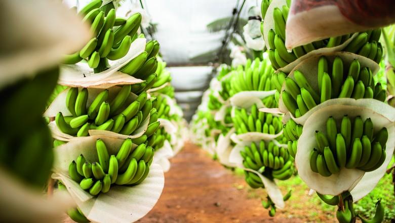O Ceará exportou mais de 19 mil toneladas de bananas para a Europa no ano passado, das quais quase 12 mil toneladas saíram da fazenda de Brok (Foto: Luiz Maximiano/Editora Globo)