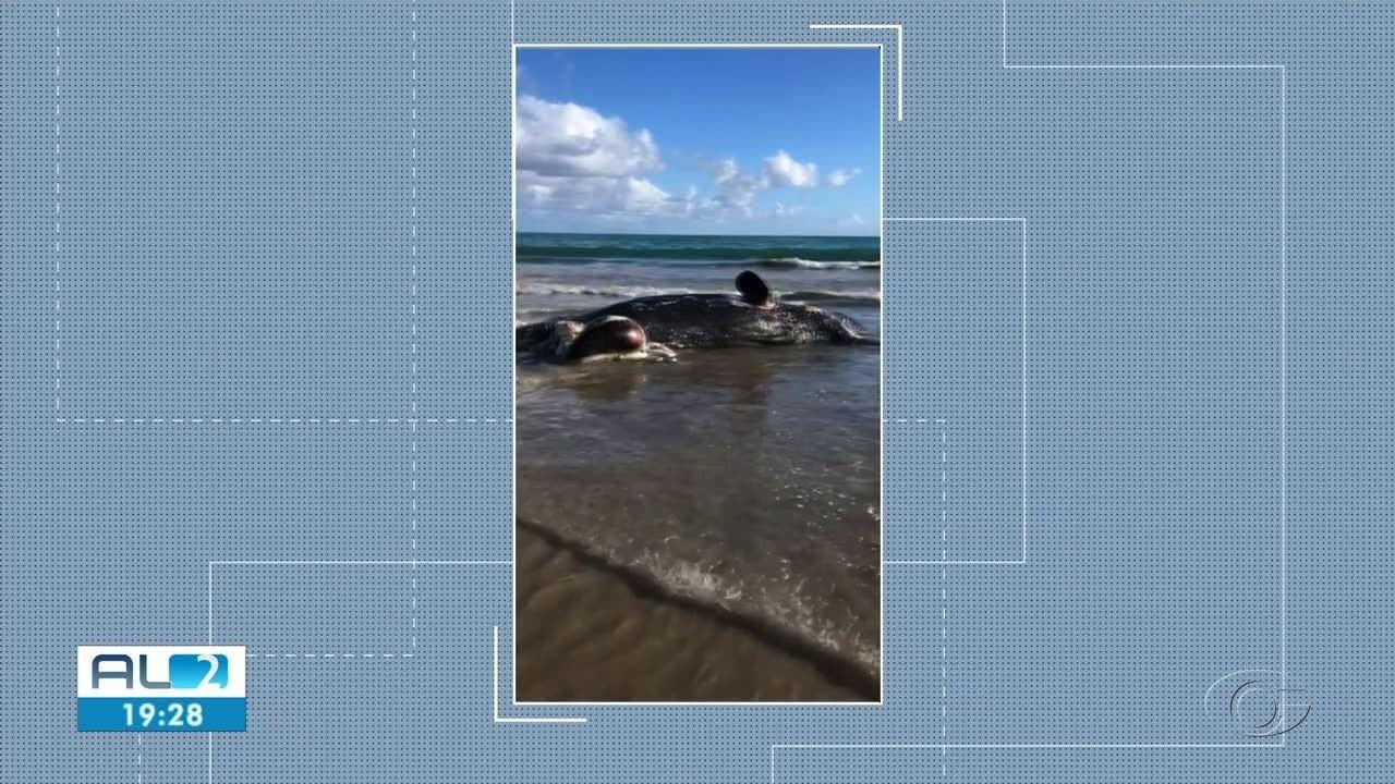 Baleia da espécie cachalote encalha na praia em Passo do Camaragibe