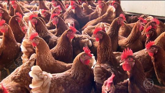 Empresas investem na produção de ovos de galinhas livres
