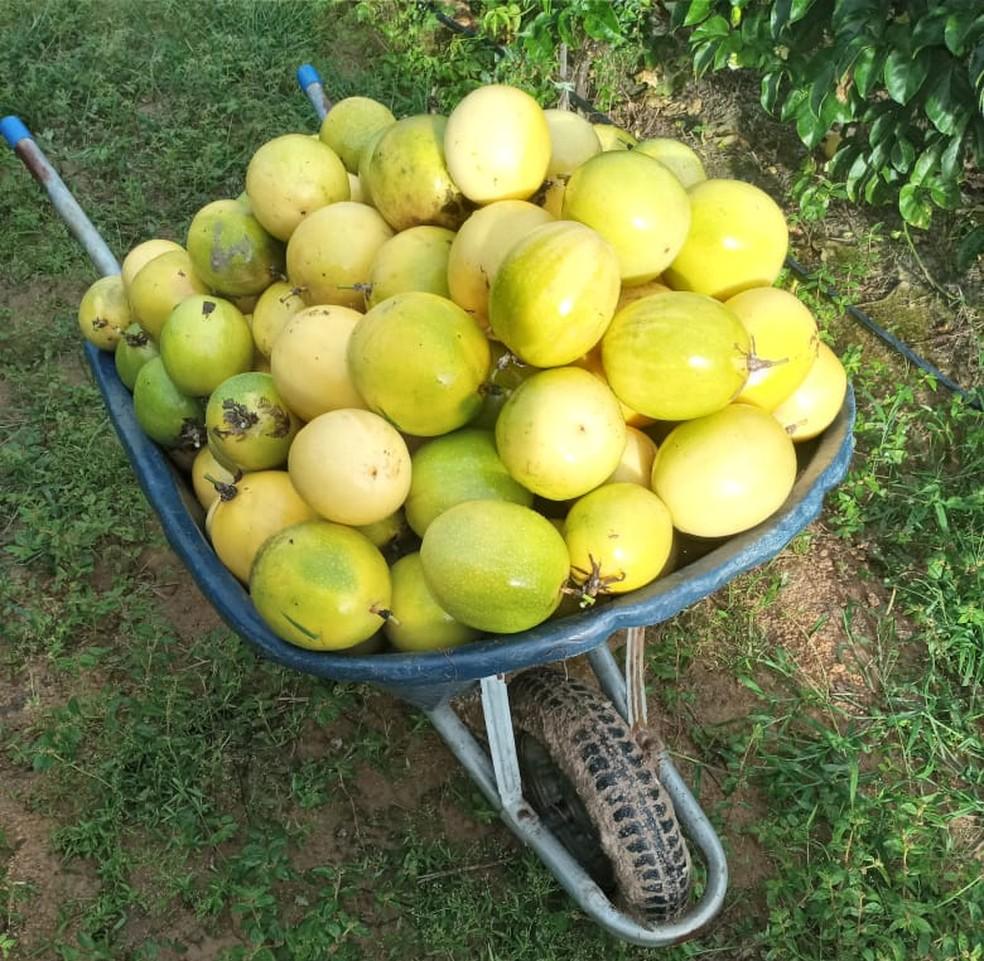 Antes, preço pago pelo fruto era baixo, mas agora aumentou — Foto: Pedro Nogueira/Arquivo pessoal