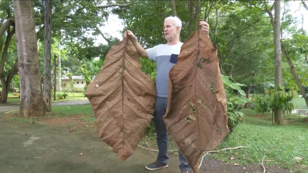 Árvore foi descoberta após engenheiro do parque receber folha gigante  — Foto: Rede Amazônica/Reprodução