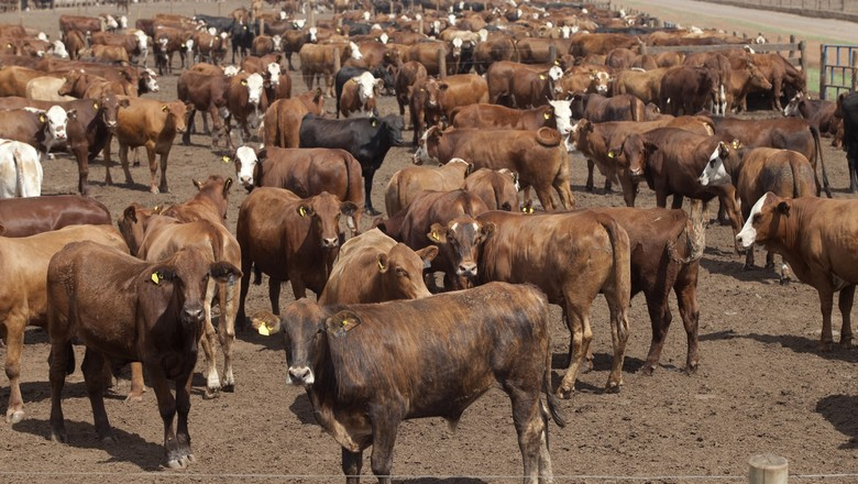 boi-gado-pecuaria-bovino-confinamento-zebu (Foto: Rogério Cassimiro/Ed. Globo)