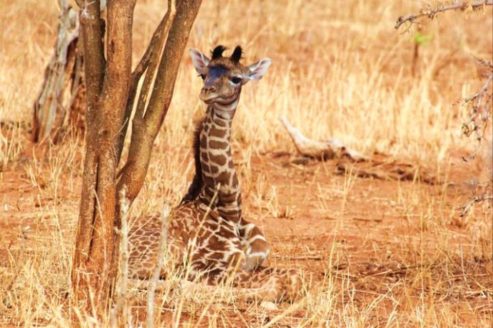 As girafas recém-nascidas com manchas grandes e irregulares sobrevivem melhor durante os primeiros meses de vida, de acordo com um novo estudo conduzido por pesquisadores da Penn State. — Foto: Derek Lee, Wild Nature Institute/Penn State