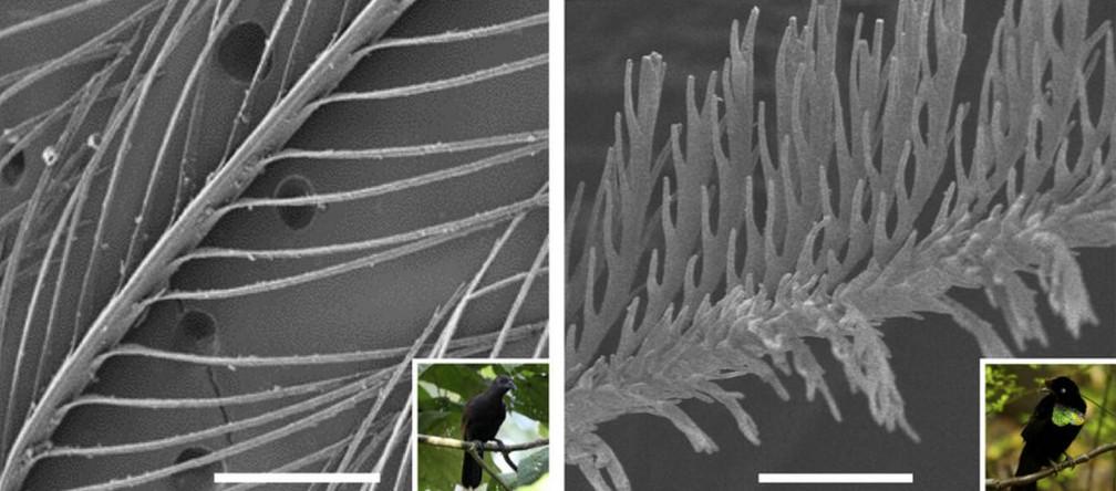 Imagem microscópica mostra estrurua de pena preta normal (esquerda) e pena superpreta, mais ramificada (direita (Foto: Nature)