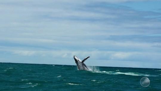 Temporada de baleias jubartes atrai visitantes ao sul da Bahia e espetáculo no mar surpreende turistas: 'Incrível'