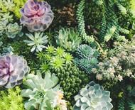 12 tipos de suculentas para variar as espécies do jardim