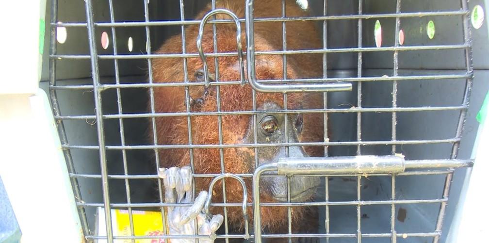 Trabalho de captura de animais silvestres é feito pelos bombeiros, em Cacoal  — Foto: Rede Amazônica/ Reprodução