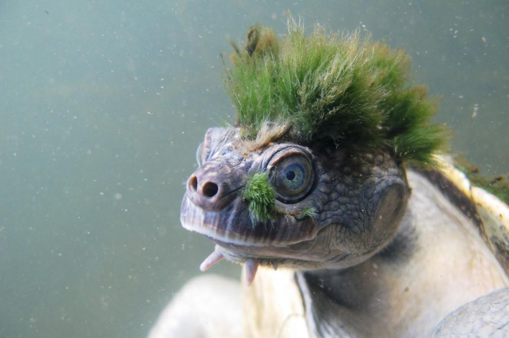 Uma foto divulgada pela Sociedade Zoológica de Londres, mostra a tartaruga australiana Mary River (Elusor macrurus), nativa de Queensland, na Austrália. C (Foto: Chris Van Wyk/ZSL/AFP)