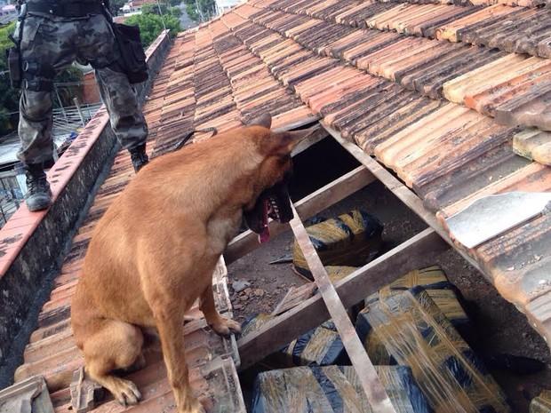 Cachorro do BAC encontra maconha em telhado de casa (Foto: Divulgação/ Polícia Militar)