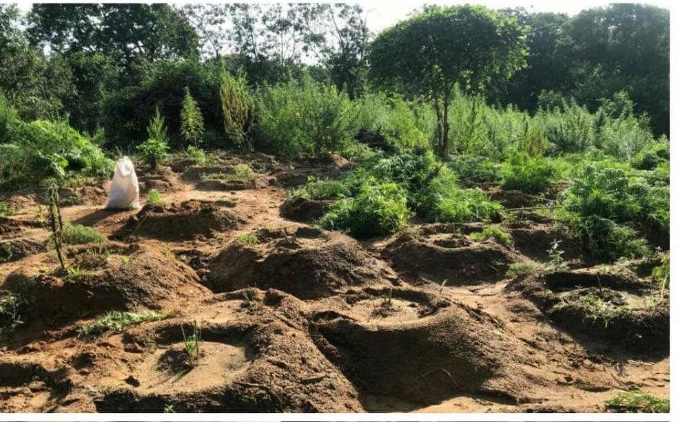 Pés de maconha em rancho de Serra Talhada — Foto: Polícia Militar/Divulgação