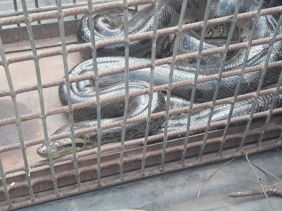 Cobras estavam em bueiro no centro da cidade — Foto: Ronivon Gomes/Divulgação