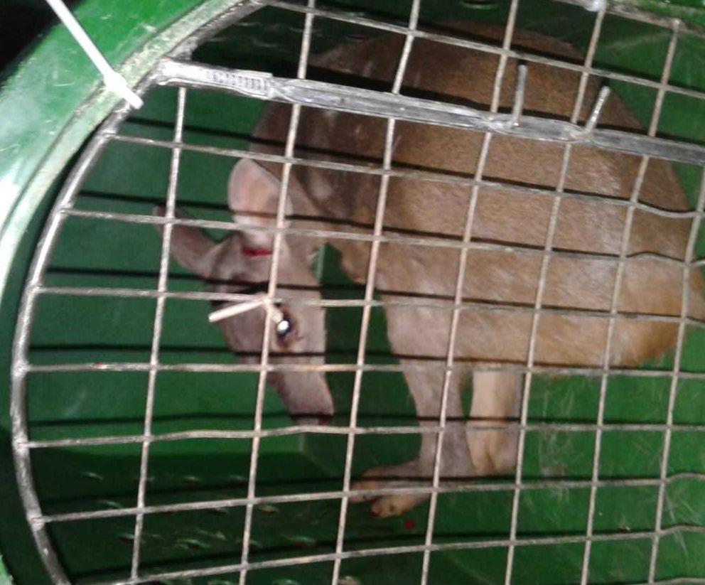 Polícia e veterinário capturam corça em condomínio de Ponta Grossa; VÍDEO