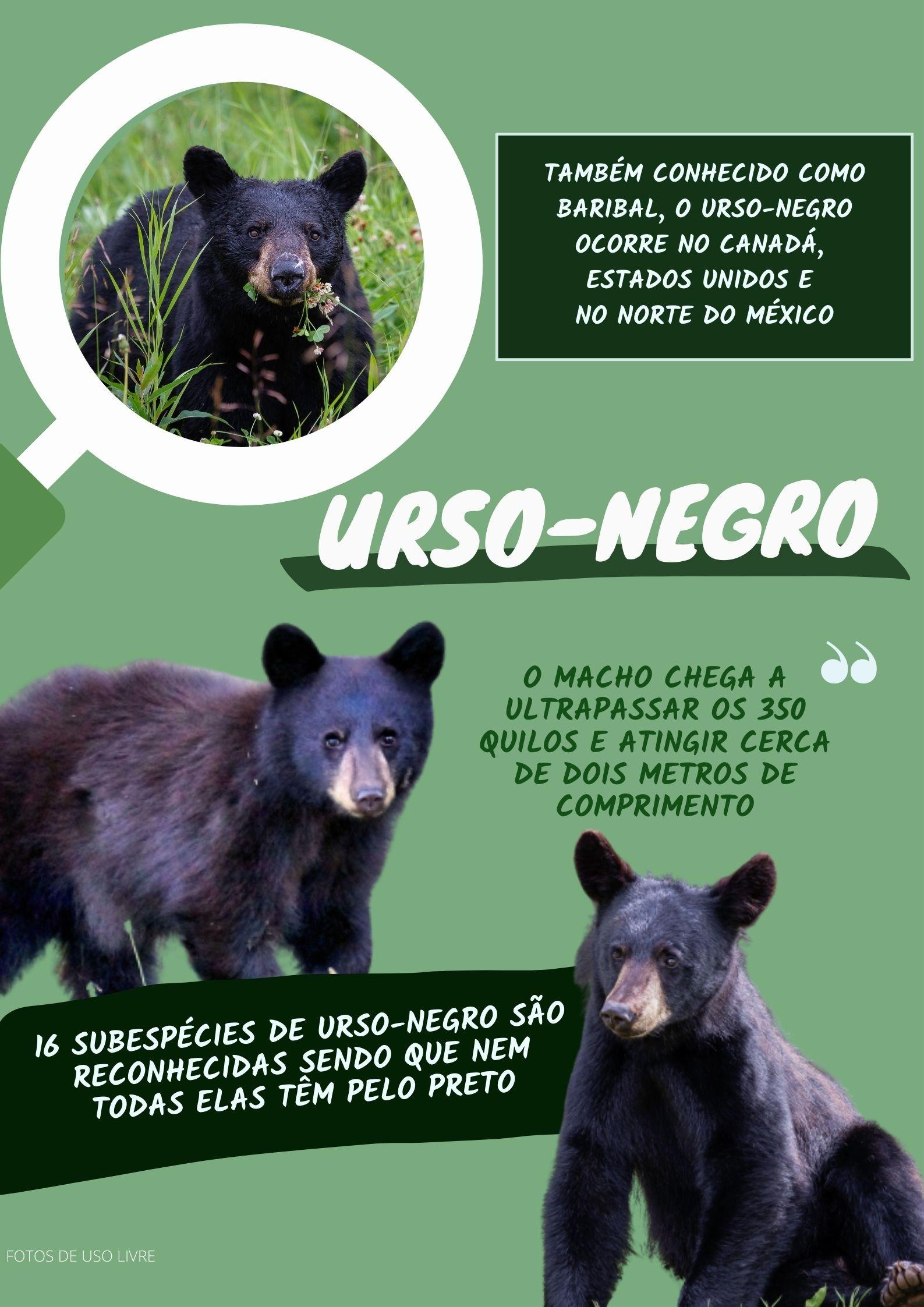 Inquilino selvagem: ursos-negros são flagrados no quintal de brasileiro que vive nos EUA
