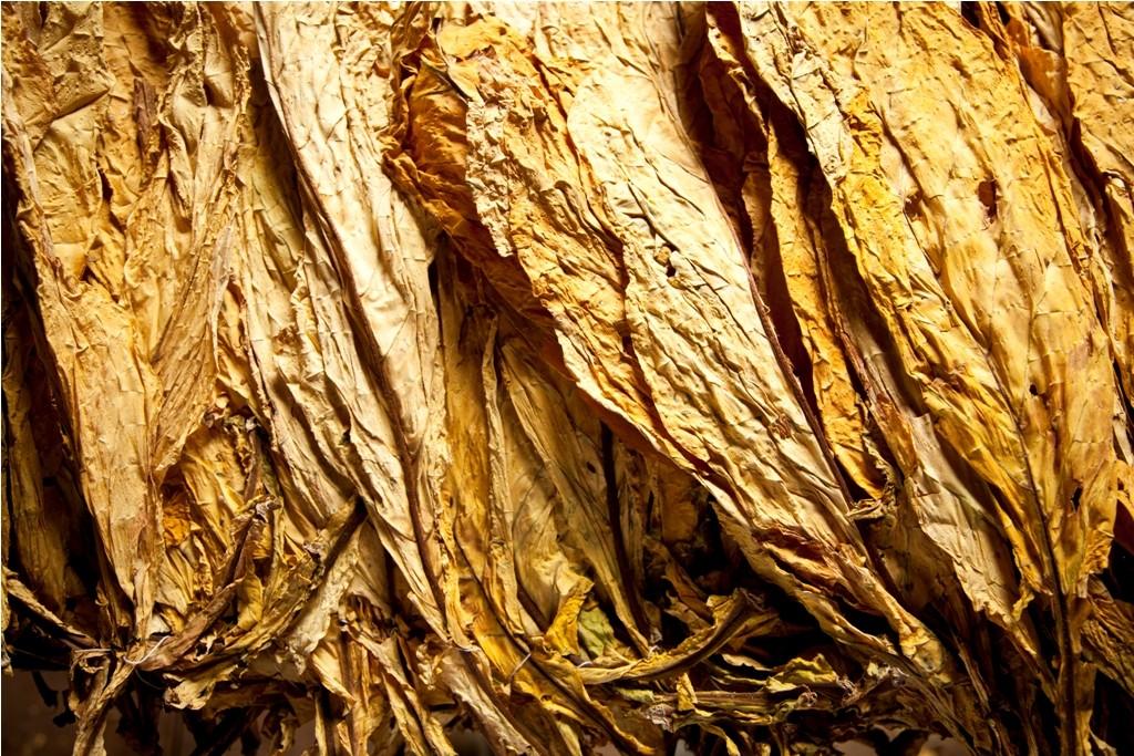 agricultura_tabaco (Foto: Marcelo Curia/Ed. Globo)