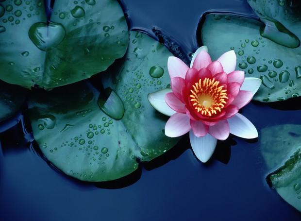 Resultado de imagem para flor de lótus