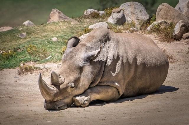 Angalifu morre e espécie de rinoceronte atinge número assustador (Foto: Reprodução)