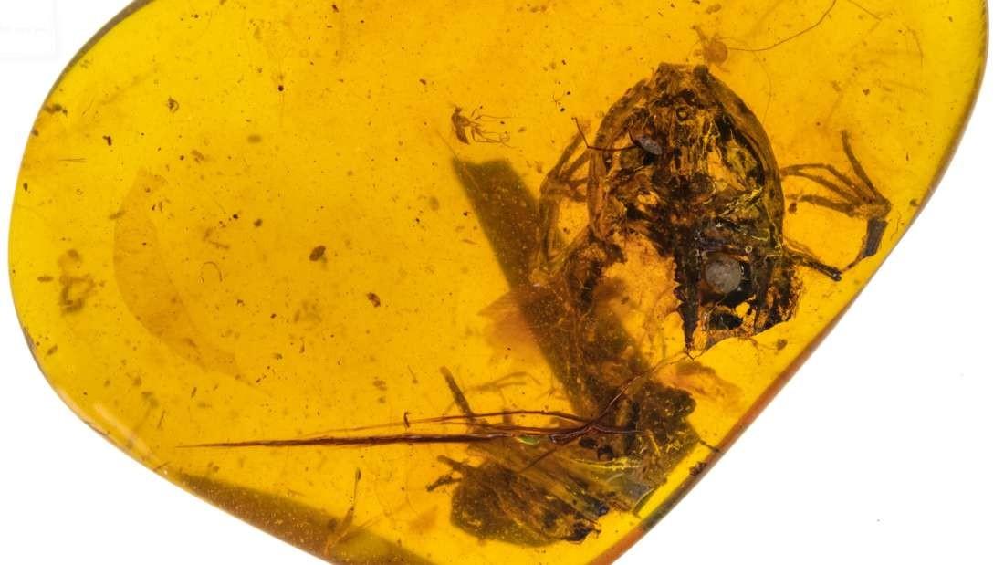 Sapo encontrado em âmbar no Myanmar (Foto: China University of Geosciences)