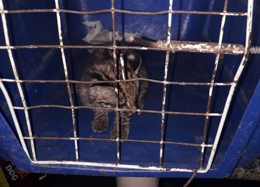 Filhote foi resgatado em Gália pela Polícia Ambiental de Marília   — Foto: Polícia Ambiental/Divulgação