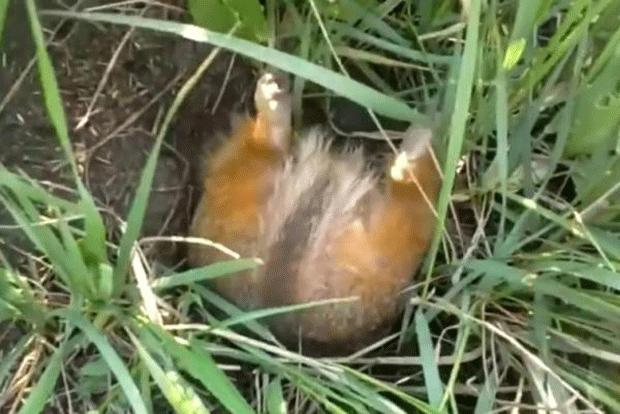 Esquilo 'gordinho' fica preso em entrada de toca na Rússia (Foto: Reprodução)