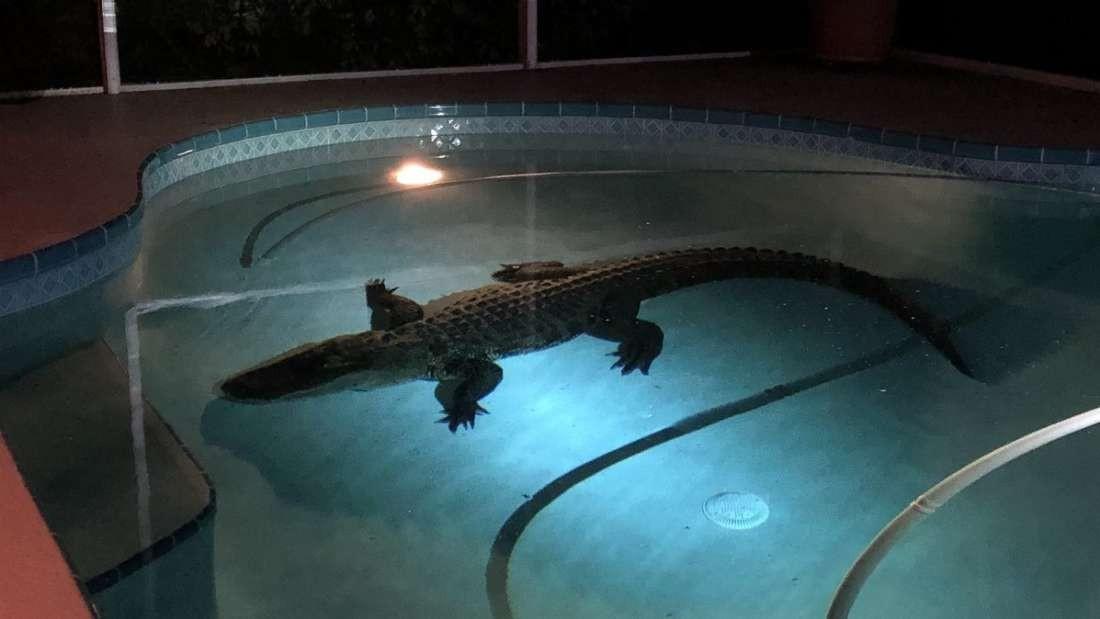 Crocodilo é encontrado em uma pisicina (Foto: Divulgação)