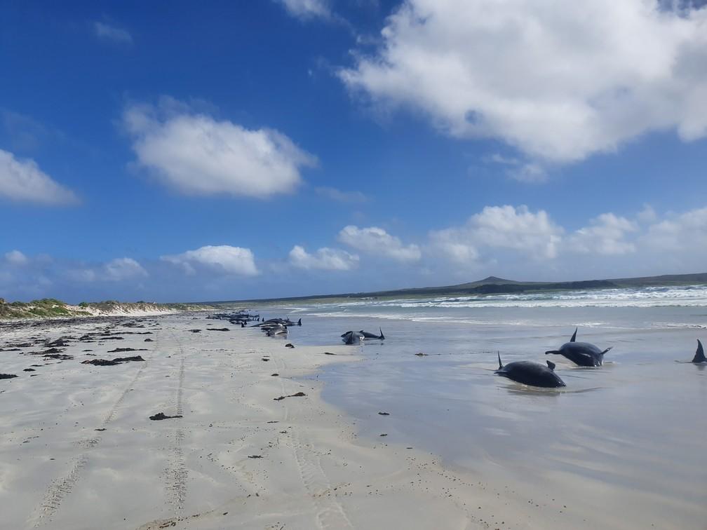Baleias-piloto são vistas encalhadas nas Ilhas Chatham, na Nova Zelândia — Foto: Jemma Welch/Departamento de Conservação da Nova Zelândia via Reuters