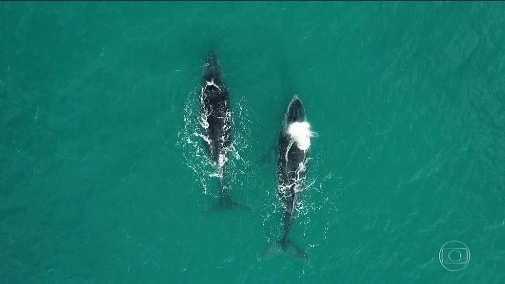 Abrolhos é o principal berçário de baleias jubarte — Foto: Reprodução/TV Globo