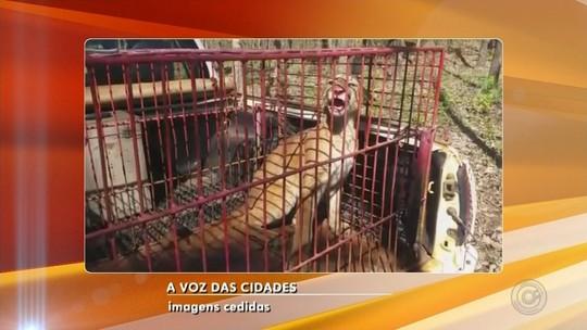 Fazendeiro é multado após capturar onça-parda com armadilha para pegar javali