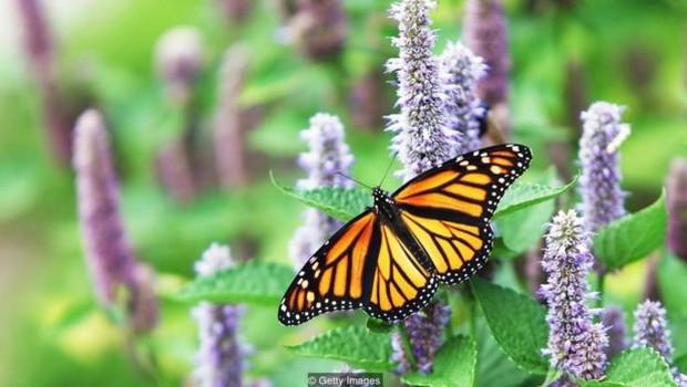 As borboletas-monarcas botam seus ovos em asclépias, mas a planta é considerada uma praga por jardineiros (Foto: Getty Images via BBC)