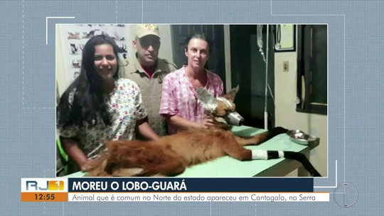 Lobo-guará morre após ser encontrado em Cantagalo, no RJ