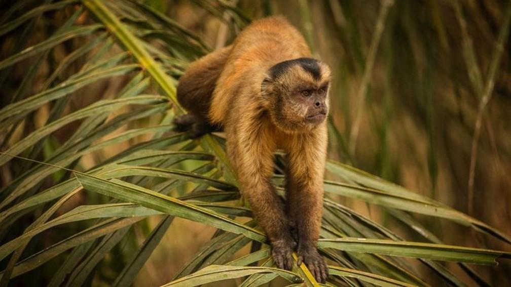 Antes de se aproximar de voluntários para pegar fruta, macaco-prego estava assustado, relata fotógrafo — Foto: Frico Guimarães/Documenta Pantanal/BBC