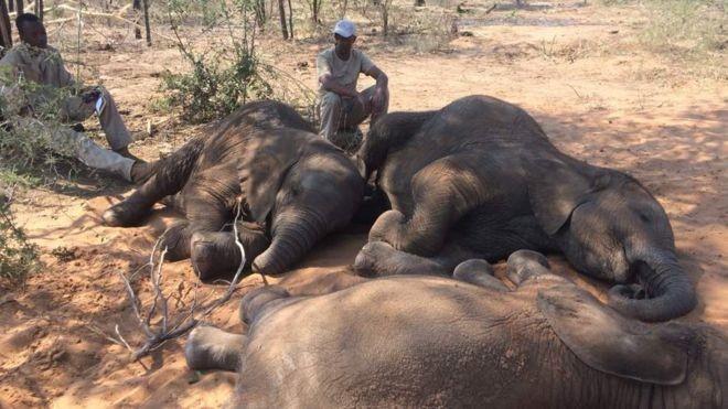 Elefantes bebês que ficaram órgãos são cuidados por humanos (Foto: Divulgação/ ELEPHANTS WITHOUT BORDERS)