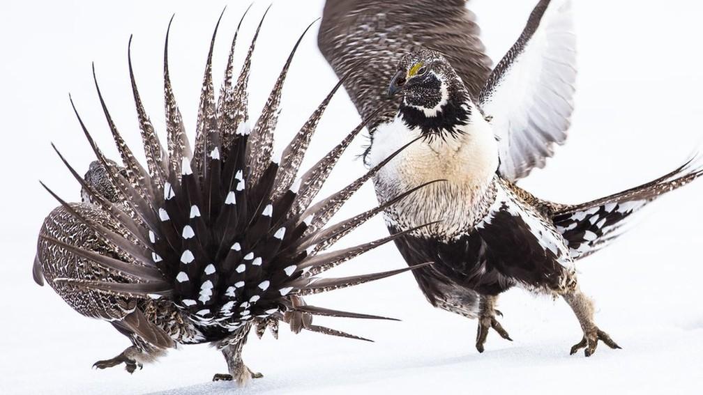 Uma foto de dois tetraz-cauda-de-faisão garantiu o prêmio da categoria profissional para Elizabeth Boehm — Foto: Elizabeth Boehm/Audubon Photography Awards