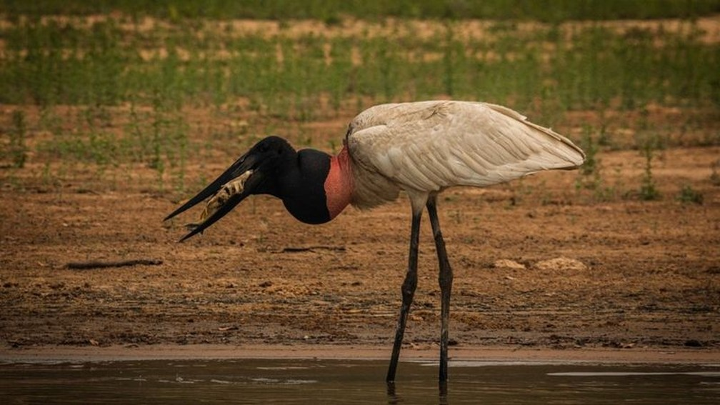 Tuiuiu se alimenta com peixe que encontrou no Pantanal — Foto: Frico Guimarães/Documenta Pantanal/BBC