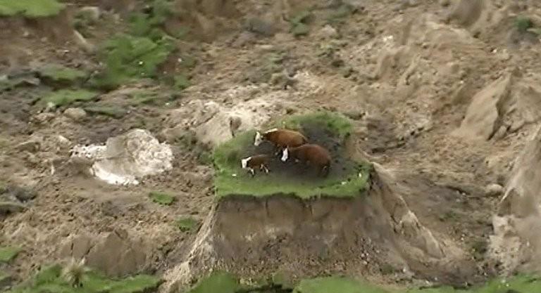 Vacas isoladas em pedaço de terra intacto