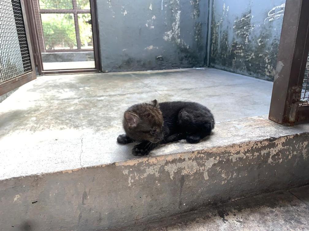Gato-mourisco é considerado raríssimo e está ameaçado de extinção — Foto: Polícia Militar/Cipa/Divulgação