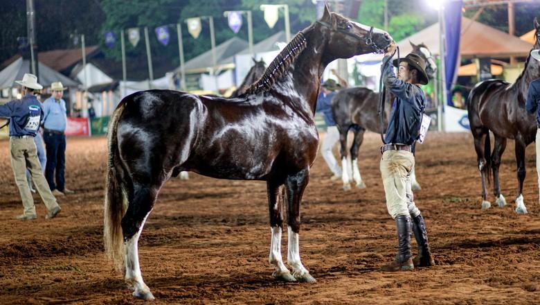 Diamante do Gadu, Grande Campeão Nacional Mangalarga (Foto: Divulgação)