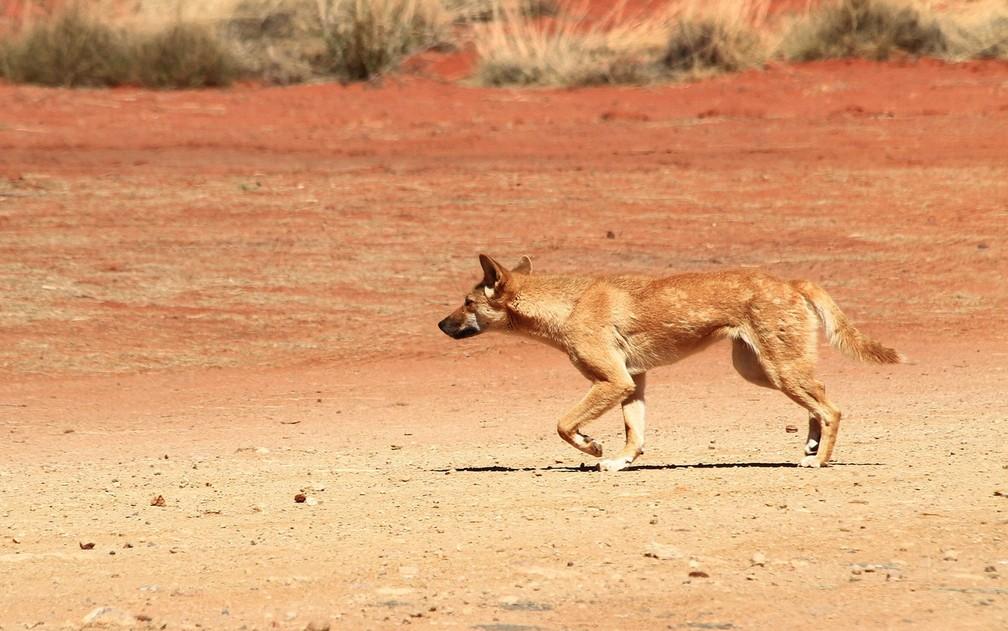 O dingo entrou na van, na Ilha Fraser, e mordeu o pescoço da criança — Foto: walesjacqueline/Creative Commons