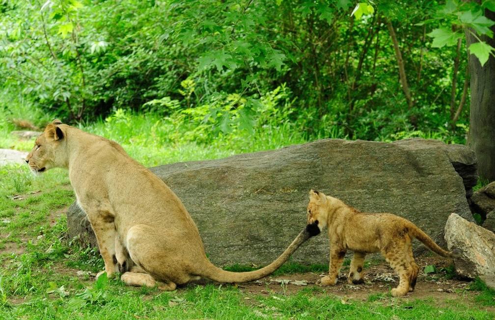 Imagem de arquivo mostra leoa fêmea e filhote no Zoológico do Bronx, em Nova York. Duas cepas do novo coronavírus em sete felinos do Zoo — Foto: Reprodução/Facebook/Zoológico do Bronx