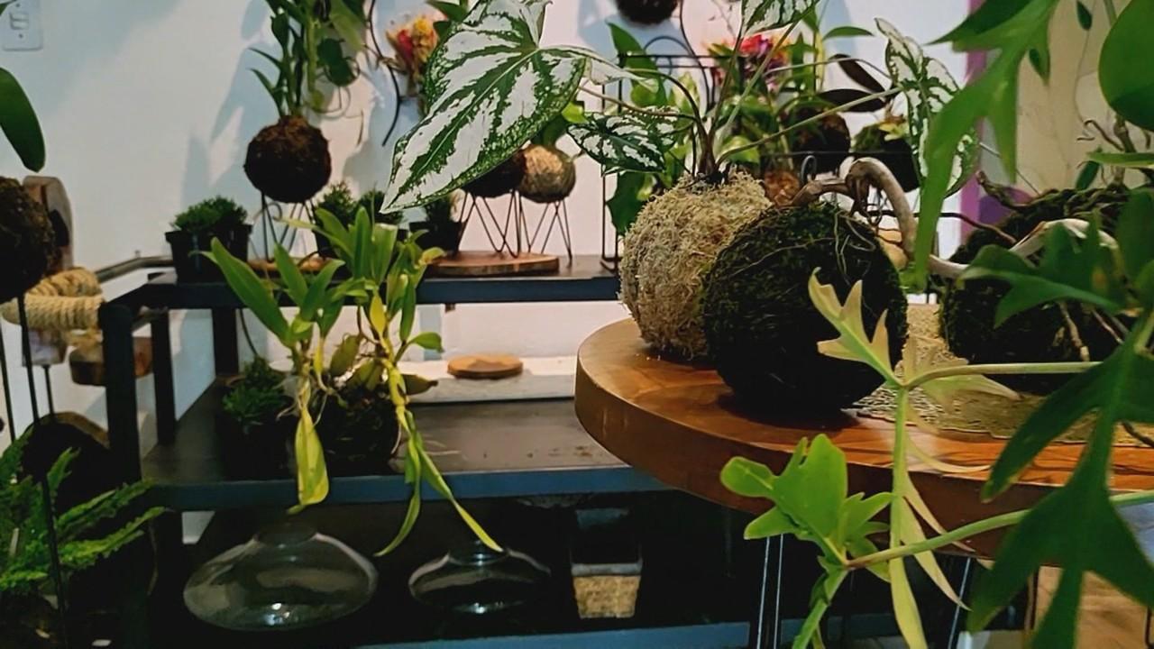 Veja o passo a passo de como regar a kokedama e diferenciar musgos