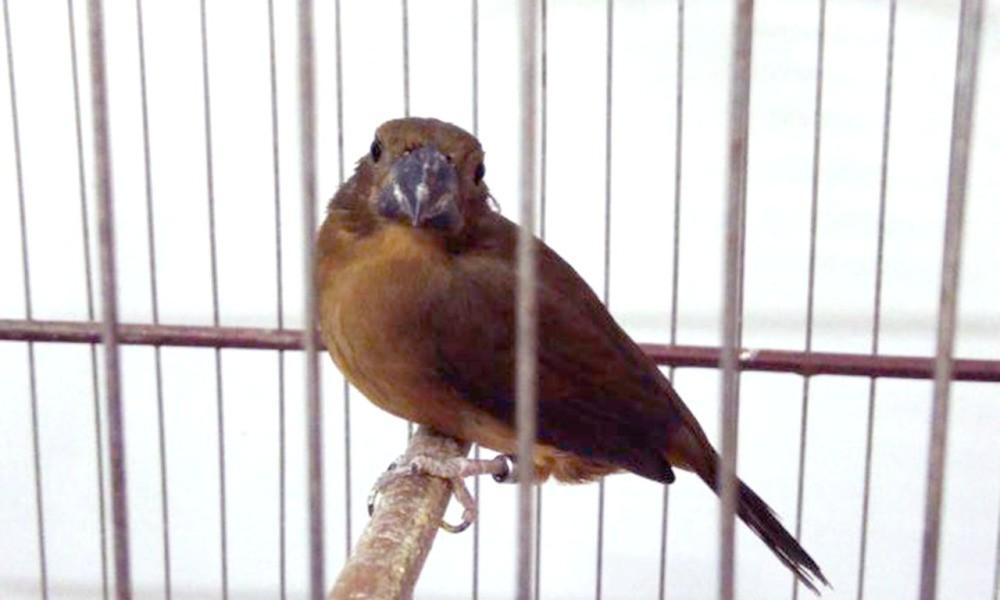 Criadores de pássaros silvestres têm prazo para pedir renovação de licença; confira  - Notícias - Plantão Diário