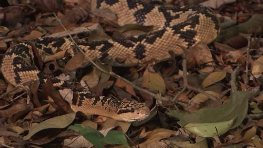 Médico tem serpentário para criar  cobras ameaçadas de extinção
