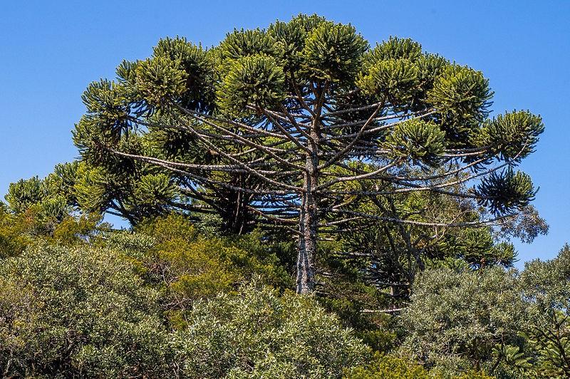 Araucária-árvore-planta-natureza (Foto: Haroldo Kalleder/Wikimedia Commons)