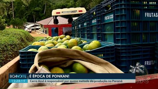 Cerro Azul é responsável por quase metade da produção de ponkan no Paraná