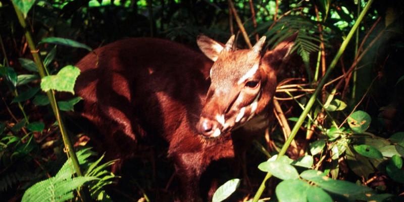 """Vietnam ganha reserva natural de saolas, os raros """"unicórnios asiáticos"""" (Foto: David Hulse/WWF)"""