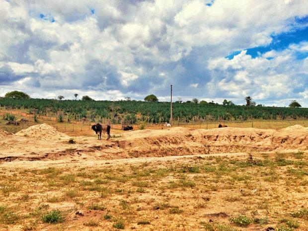 Produção de sisal é afetada pela seca que atinge a região do semiárido (Foto: Henrique Mendes / G1)