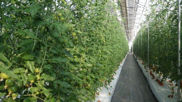 BBC: Método de produção por películas possibilita a agricultura em qualquer lugar do planeta (Foto: DIVULGAÇÃO/MEBIOL VIA BBC)