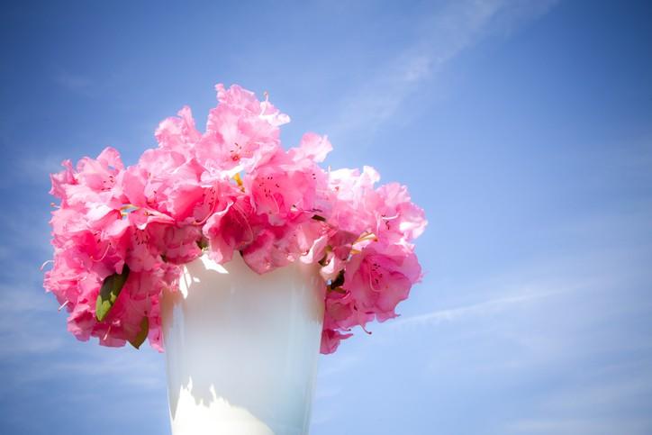 Azalea flower in pot. (Foto: Getty Images)