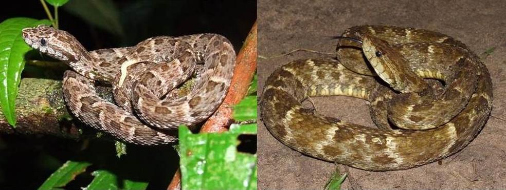 Mais de 80% dos acidentes com cobras são causados pela espécie jararaca, aponta pesquisa — Foto: Paulo Bernarde/Arquivo pessoal