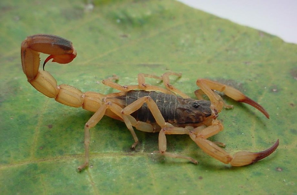 Escorpião amarelo (Foto: Prefeitura de Formiga/Divulgação)