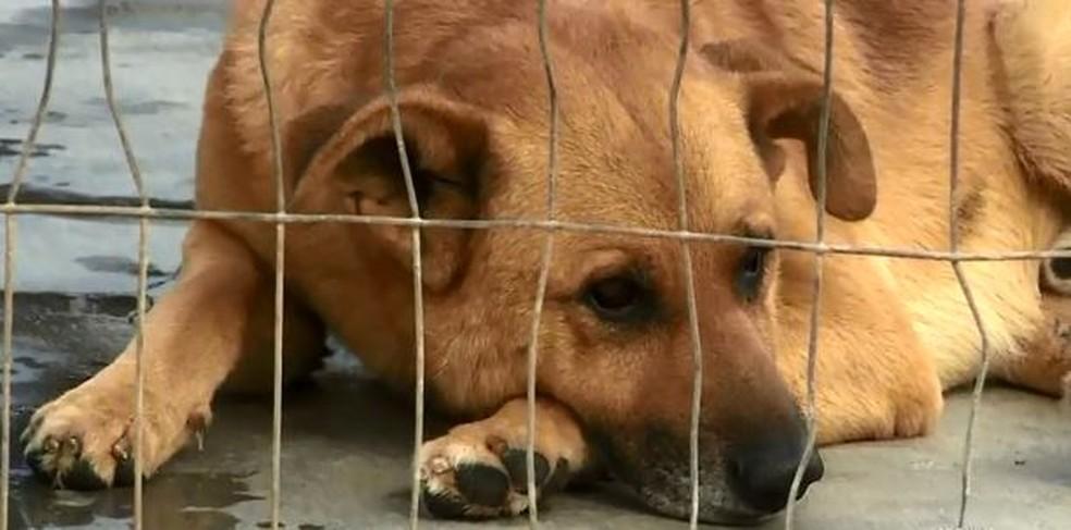 Por preconceito ou mesmo falta de informação, muitos cães acabam sacrificados após serem diagnosticados com leishmaniose — Foto: Reprodução/NSC TV